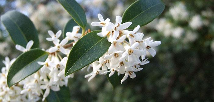 Osmant: eksotični cvet, ki diši še posebej opojno